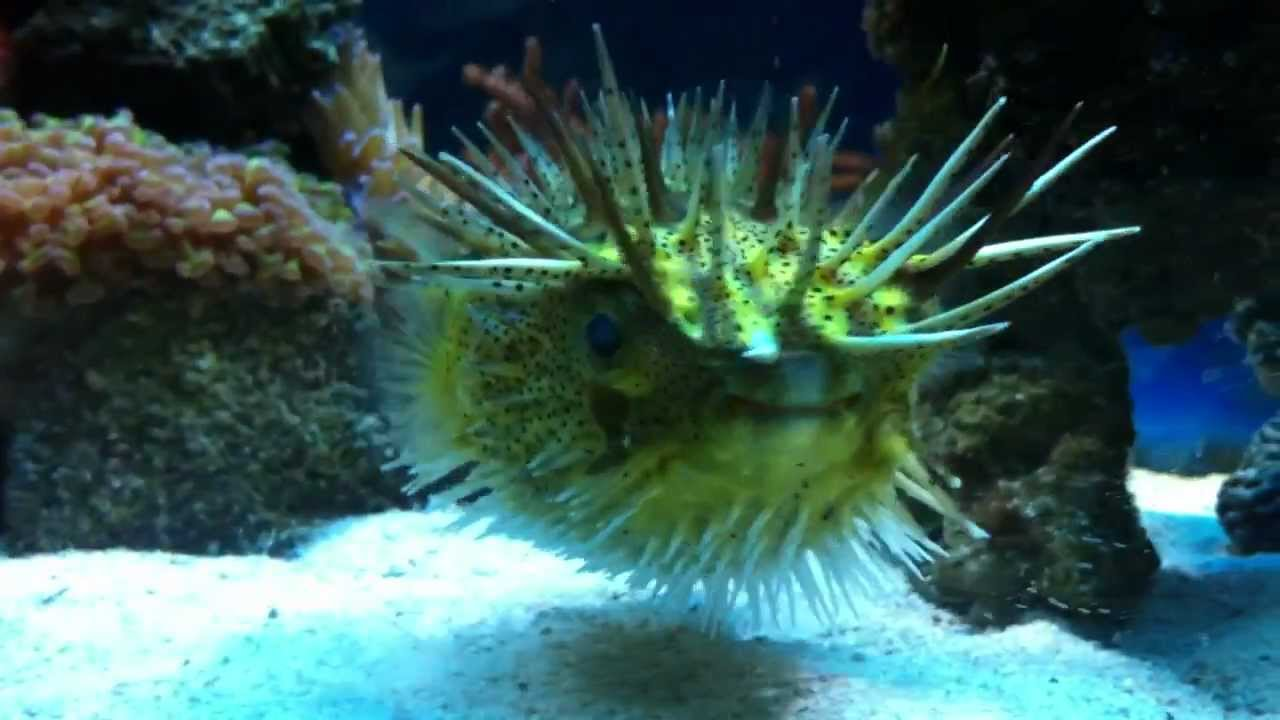 Big puffer fish little trick cute youtube for Giant puffer fish