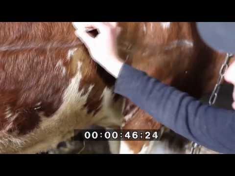 прокол при вздутии у теленка загрузить, загрузить кисти