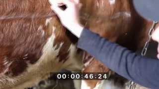 Прокол книжки у коровы. Puncture omasum cow.(ОСТОРОЖНО !!! ПЕРЕД ПРОСМОТРОМ ПРОЧИТАЙТЕ ПРЕДУПРЕЖДЕНИЕ. видео предназначено для студентов-ветеринаров,..., 2015-01-10T20:30:27.000Z)