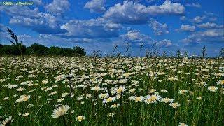 Ромашкове поле-природній Рай на Смілянщині.