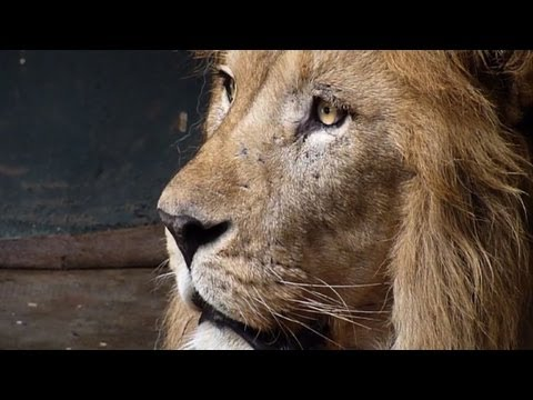 Moroccan zoo is home to last of Atlas lions