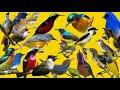 Suara Kutilang Ribut Kombinasi Burung Kecil Anti Zonk Di Jamin Jos  Mp3 - Mp4 Download