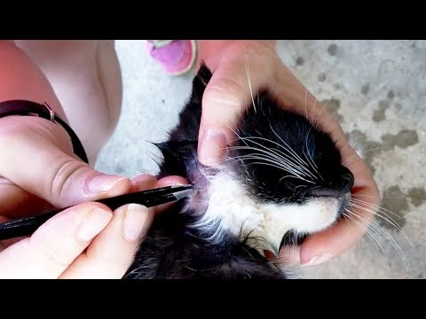 CAT INFESTED WITH BOTFLY LARVA REMOVAL 😬