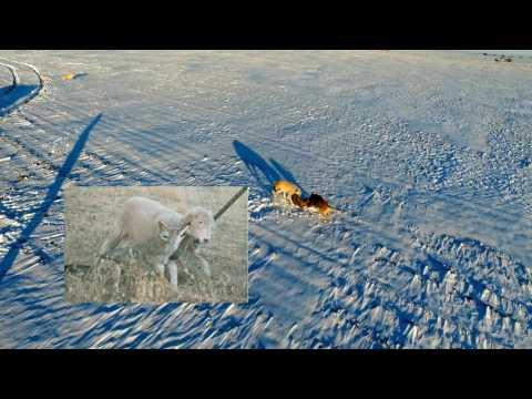 Coyote VS Greyhound Wolfhound VS Drone