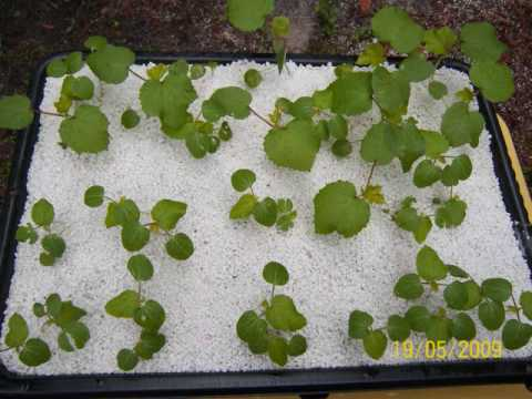 Hydropond Okra 37 Days Part1 Sqfoothydro Youtube
