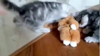 Маленький помощник! Британский котенок черный мрамор на серебре Бакс