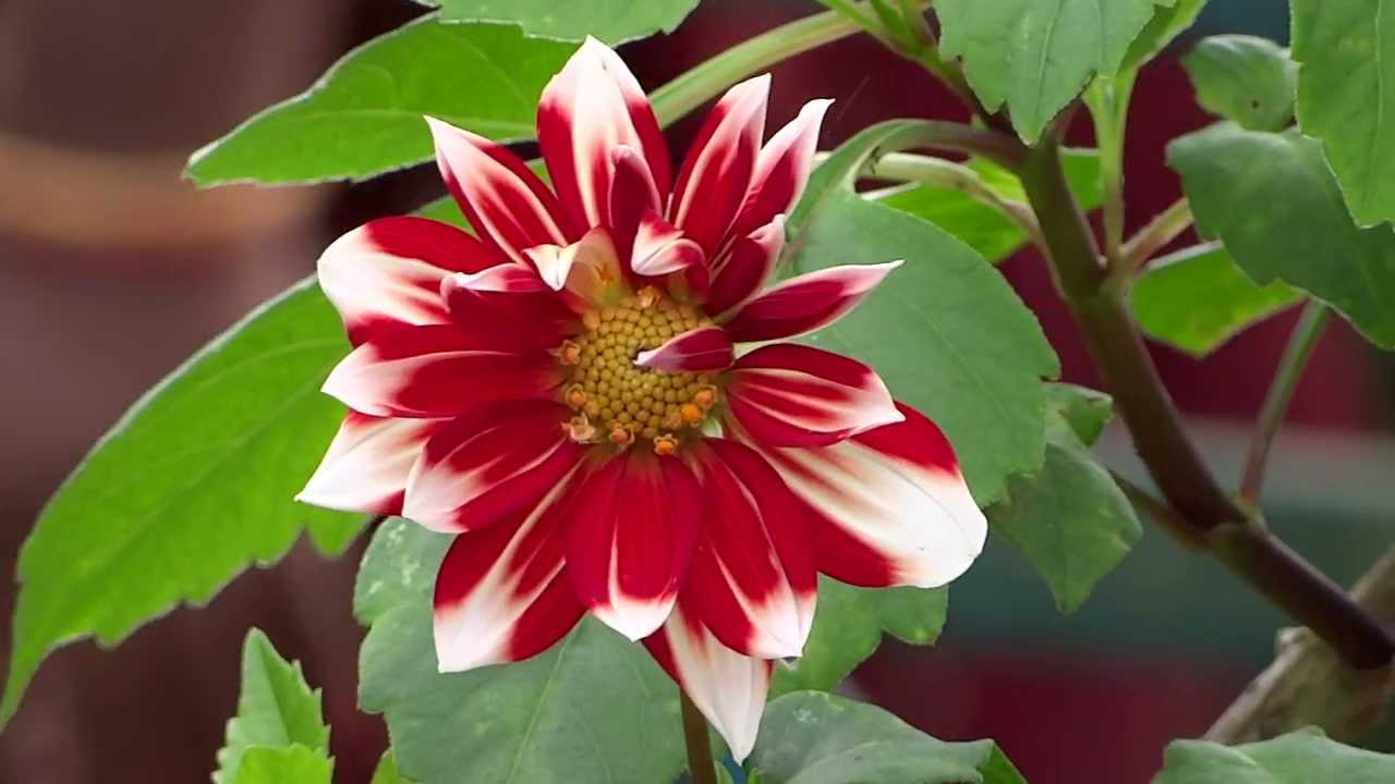 White And Red In Color Natural Flower From Kerala Garden Youtube