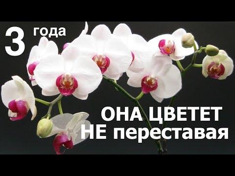 ОРХИДЕЯ цветет ТРИ года ПОДРЯД, это фаленопсис Ред Лип (Phalaenopsis Red Lip)