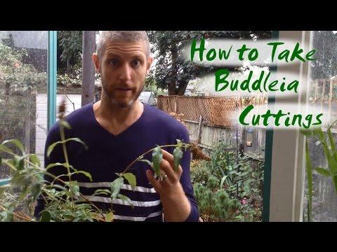How To Take Buddleia Cuttings Youtube