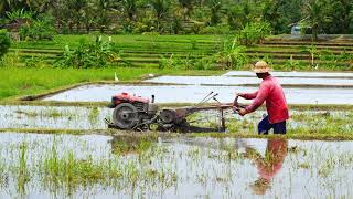 Farmer Ploughing Rice Field with Walking Tractor