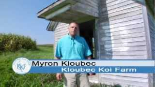 Koi Fish For Sale - Koi Fish - Kloubec Koi Farm Intro (Video 1)