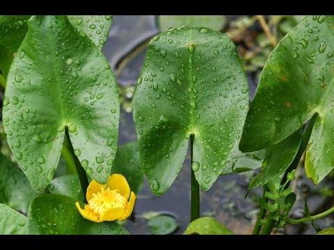 Водные растения10 Декоративные растения