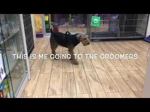 Grooming a Welsh terrier