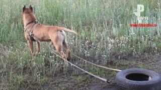 Как накачать мышцы собаке? Тренировка стаффорда Дика! [Рыбачёв и Пёс НЕИЗДАННОЕ]