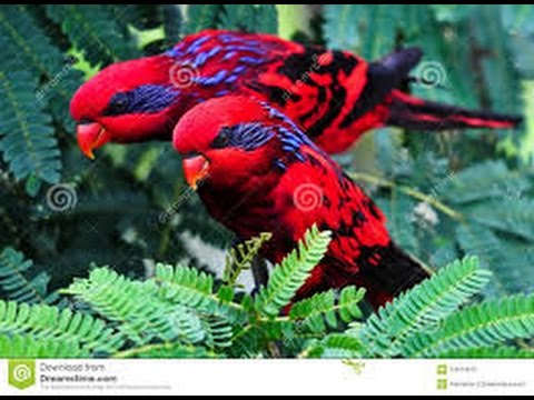 Funny Red Lory Beautiful Burung Nuri Maluku Youtube