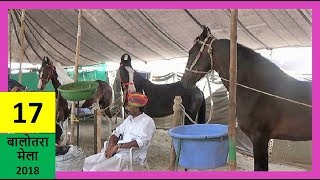 बनासकांठा नागेश्वरी अश्व फार्म  के शानदार घोड़े - Indian Marwari Horses Trading Market : Balotra