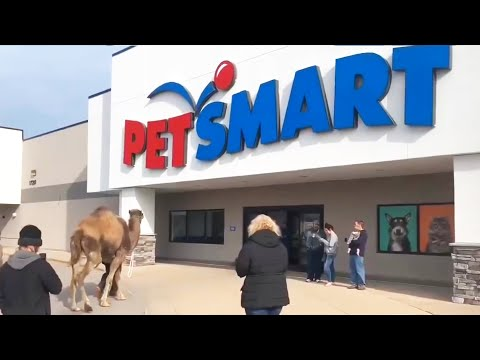 Taking A Camel To The Store