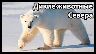 Дикие животные Севера (Зов природы)