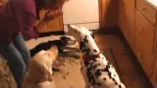 Deaf Dalmatians Understanding Sign Language