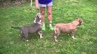 CAROLINA BULLY FARMS SWEET MONEY, MISS BOUNCI, AND MO MONEY BEGGIN FOR A TREAT