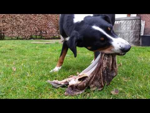 Dog eating tripe - Raw feeding for dogs
