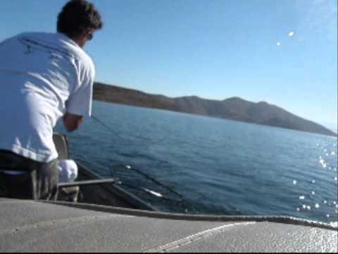 Striper stripers striped bass fishing swim baits dvl for Diamond lake fishing report