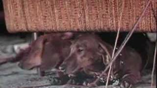 The Ugly Dachshund trailer, Great Dane 1966 Disney