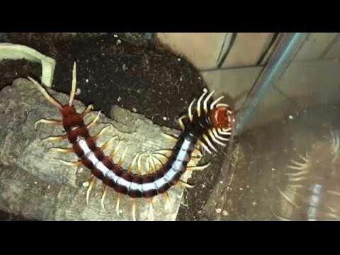 Rehousing My Huge Centipede ( Scolopendra Gigantea White Leg )