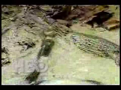 Electric Eel vs. Crocodile - YouTube