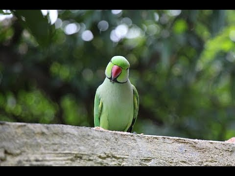 Talking Sindh Parrot new video