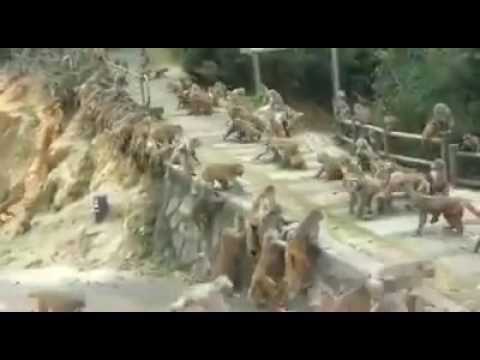 It's tactics that matter! 2 groups of monkeys caught having a mass brawl