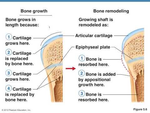 Bone formation, healing, remodeling