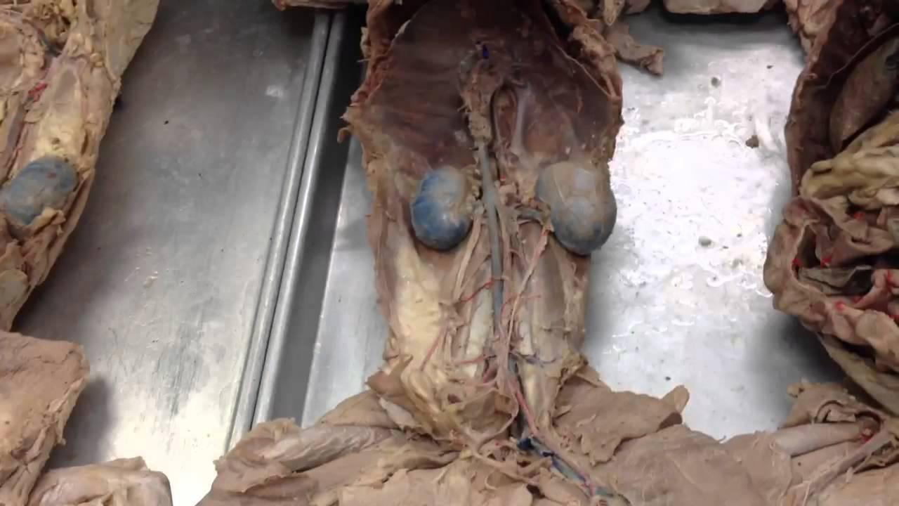 Unit 4 cat dissection part 2 - YouTube