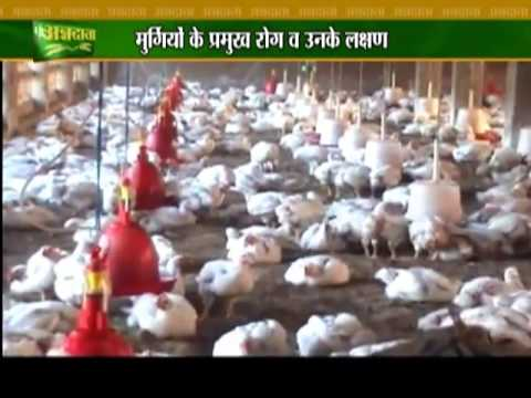 Prevention and cure of diseases in broiler chicken