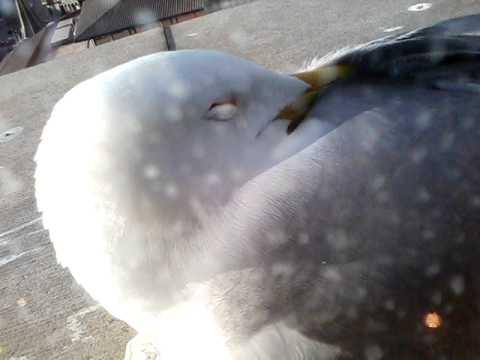 Как спят чайки