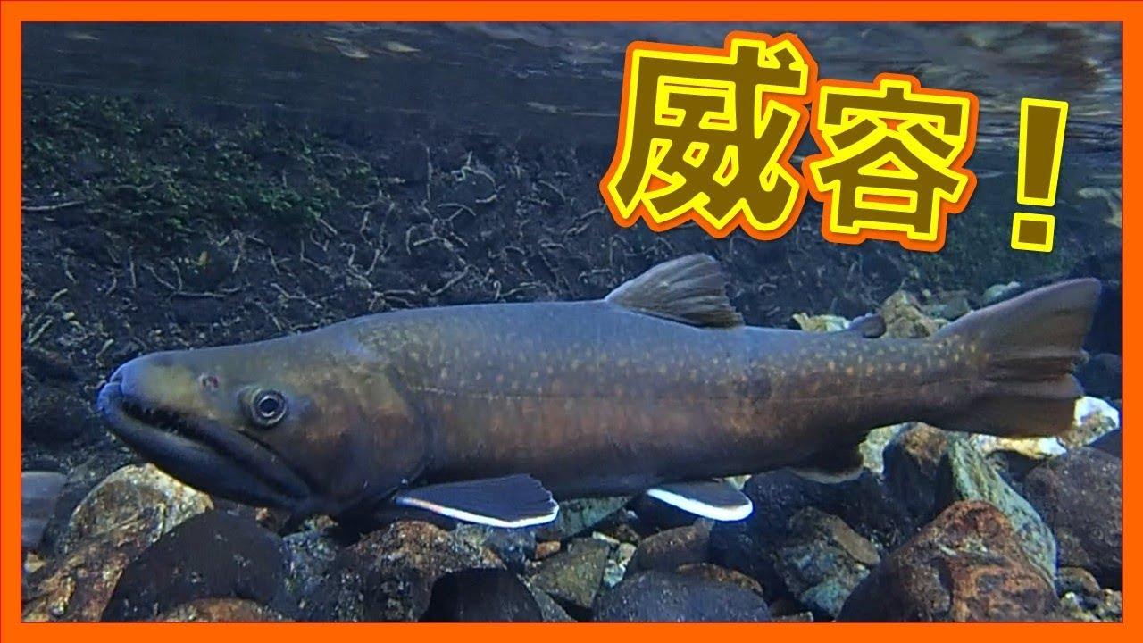 怪魚 巨大イワナのペアリングを水中観察 Big Fish Spawning Youtube
