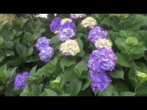 箕甲山保安寺熊谷市紫陽花の寺vol6