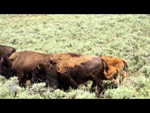 Bears & Bison - 2 minutes of Yellowstone