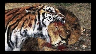 LION vs TIGER DANGEROUS REAL FIGHT EVER    WILD HUNT