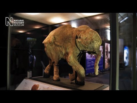 Mammoths: Ice Age Giants - the preview | Natural History Museum