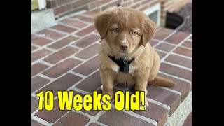 10 Weeks Old! Nova Scotia Duck Tolling Retriever  Ups and Down + NEW Tricks!