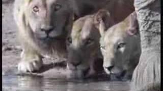 キリンと水牛を襲うライオン.