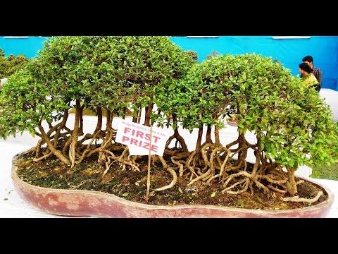 Best Bonsai Exhibition - Japanese Art of Miniature Trees in Pots