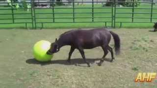 Funny And Cute Horses Playing With Ball Compilation [HD] AHF