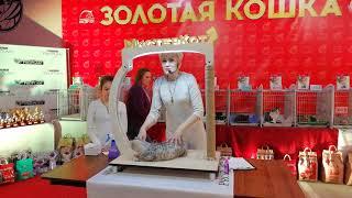 Британская кошечка Florence MeowClub *BY в wcf-ринге молодых животных у Ольги Рогачевой-Кузако