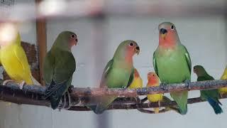 попугаи  обзор