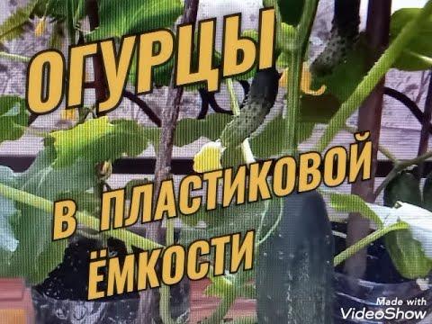 ОГУРЦЫ В ПЛАСТИКОВОЙ ЕМКОСТИ - РЕЗУЛЬТАТЫ ЭКСПЕРИМЕНТА) // МОЯ ОРХИДЕЯ))))