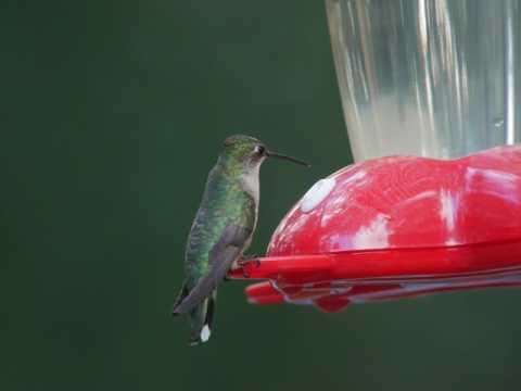 Twiggy's  Curiosity with Mamma Bluebird's Frantic Alarm Calls
