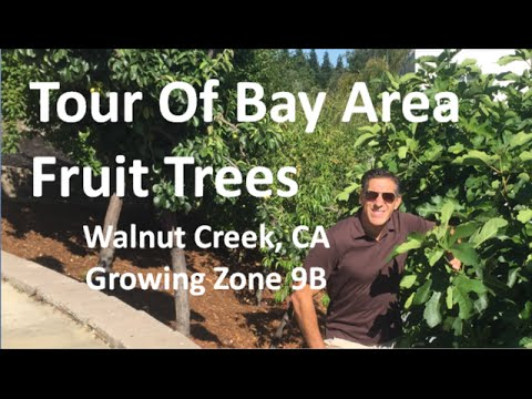 Tour Of Bay Area Fruit Trees - Walnut Creek, CA  | Growing Zone 9B | 10 Years After Planting