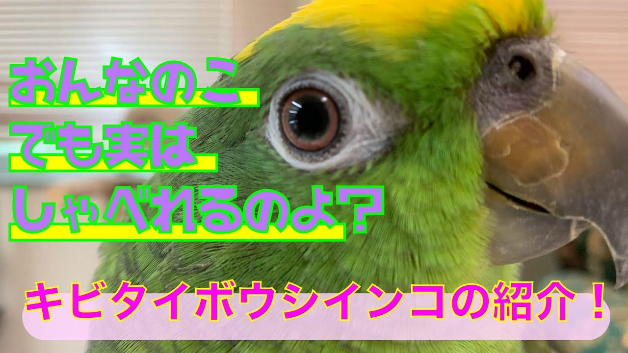 【えとぴりかOSAKA】お喋り上手で人大好きなインコの紹介!【キビタイボウシインコ・Yellow-crowned Parrot】
